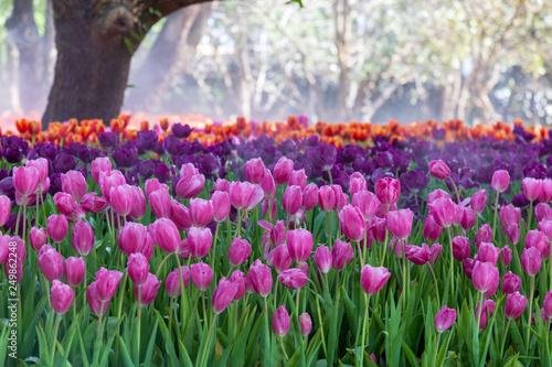 Purple tulip in garden.