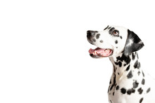Dalmatian Dog Portrait With Tongue Out Isolated On White Background. Dog Looks Left. Copy Space