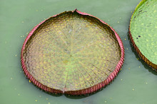 Close Up The Big Leaf Of Water Lotus In The Pond Of The Botanical Garden
