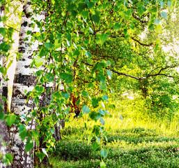 Panel Szklany Podświetlane Brzoza summer in sunny birch forest