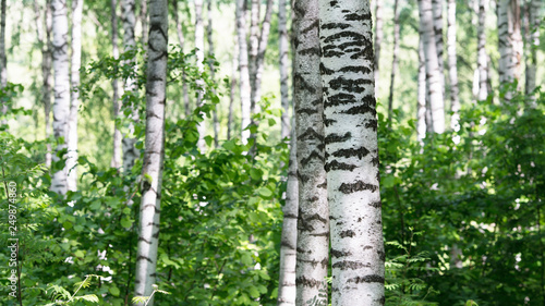 Tuinposter Berkbosje summer in sunny birch forest