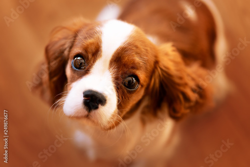 Foto  Bettelnder Blick eines Welpen - Cavalier King Charles