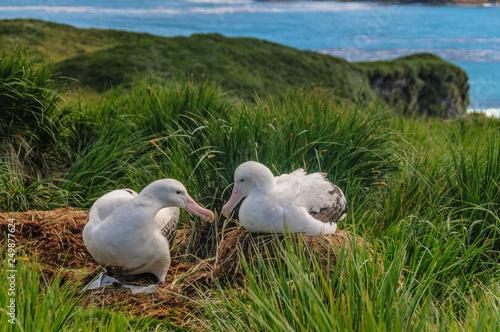 Wandering Albatross Couple on it's Nest Wallpaper Mural