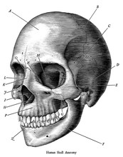 Skull, Drawing, Human, Vintage, Illustration, White, Skeleton, Anatomy, Halloween, Art, Hand, Black, Sketch, Etching, Old, Engraving, Death, Head, Engraved, Medical, Isolated, Science, Drawn, Body, Bo