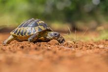 Hermann's Tortoise Testudo Her...