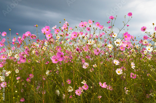 Pink and white cosmos flowers against the clouds Poster Mural XXL