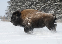 Bison Charging Through The Snow
