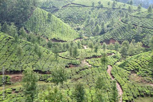 Foto auf AluDibond Olivgrun Plantation de thé du Kérala à Munnar, Inde du Sud