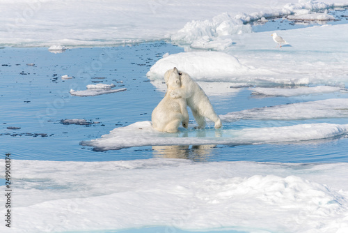 Poster Turquoise Two young wild polar bear cubs playing on pack ice in Arctic sea, north of Svalbard