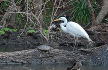 Great Egret And Turtle