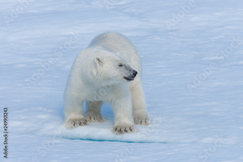 Poster Ijsbeer Wild polar bear cub on pack ice in Arctic sea close up