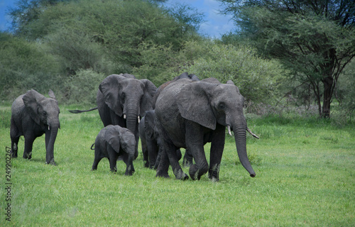 Photo  Herd of elephants with mother and babies among the Acacia trees in the Tarangire