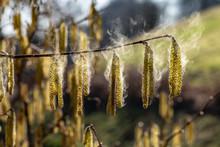 Haselnuss Pollenflug