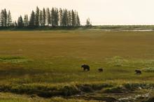Brown Bear Family Crossing Meadow;  Alaska