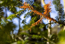 Fir Branch Outdoor In Bright Sunlight