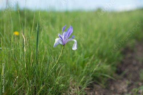 Siberian Iris (Latin Iris sibirica) grows on the side of a dirt road Canvas Print