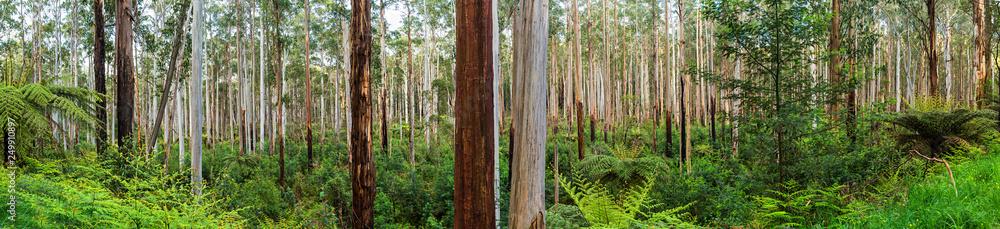 Fototapeta View of a beautiful temperate rainforest near Melbourne in Victoria, Australia