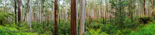 Foto View of a beautiful temperate rainforest near Melbourne in Victoria, Australia