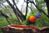 Fototapeta Tęcza - papuga, kolory, ntura