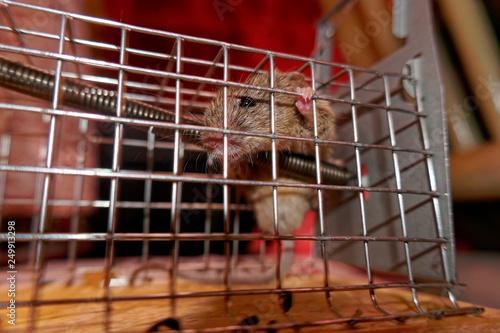 Fotografie, Obraz  mouse in a trap