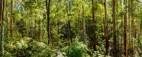 Panoramic view of a beautiful temperate rainforest near Melbourne in Victoria, A Wallpaper Mural