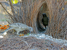 Two Young Bowerbirds Practice ...
