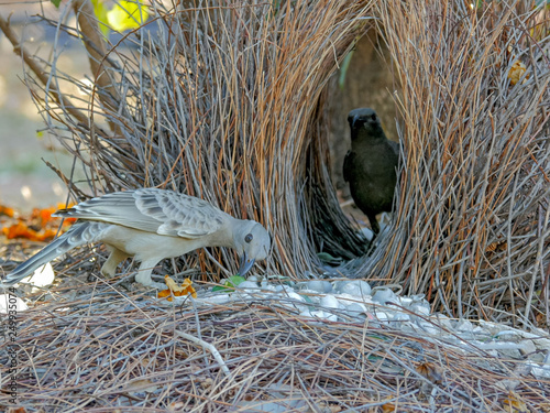two young bowerbirds practice at a bower of twigs Canvas Print