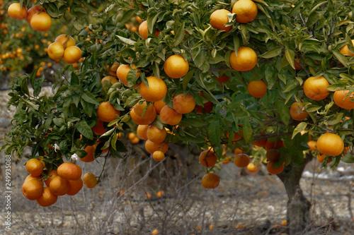 Photo  mandariniers
