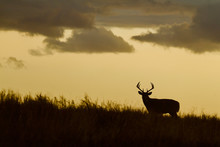 Whitetail Deer Buck - Silhouette In Prairie Landscape