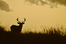 Whitetail Deer Buck - Silhouet...