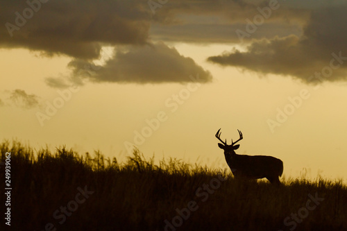 Poster Chasse Whitetail Deer buck - silhouette in prairie landscape