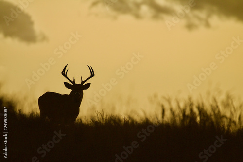 Whitetail Deer buck - silhouette in prairie landscape