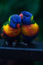 Rainbow Lorikeet Couple Preening