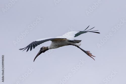 American wood Stork (MYCTERIA americana) in flight Slika na platnu