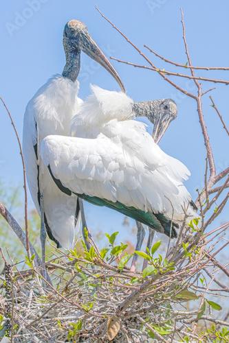 Fotografija  Two American wood Storks (Mycteria americana) preening
