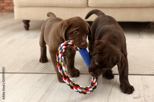 Foto  Chocolate Labrador Retriever puppies with toy indoors