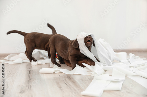 Cute chocolate Labrador Retriever puppies playing with torn paper on floor indoo Canvas Print