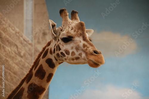 Photo  portrait of a giraffe