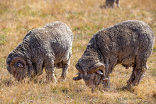 Two Merino Rams With Horns Gra...