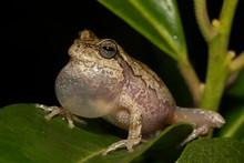 Pine Woods Tree Frog - Hyla Fe...
