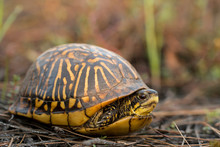 Florida Box Turtle - Terrapene...