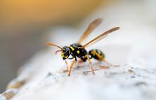 Wasp Or Yellow Jacket