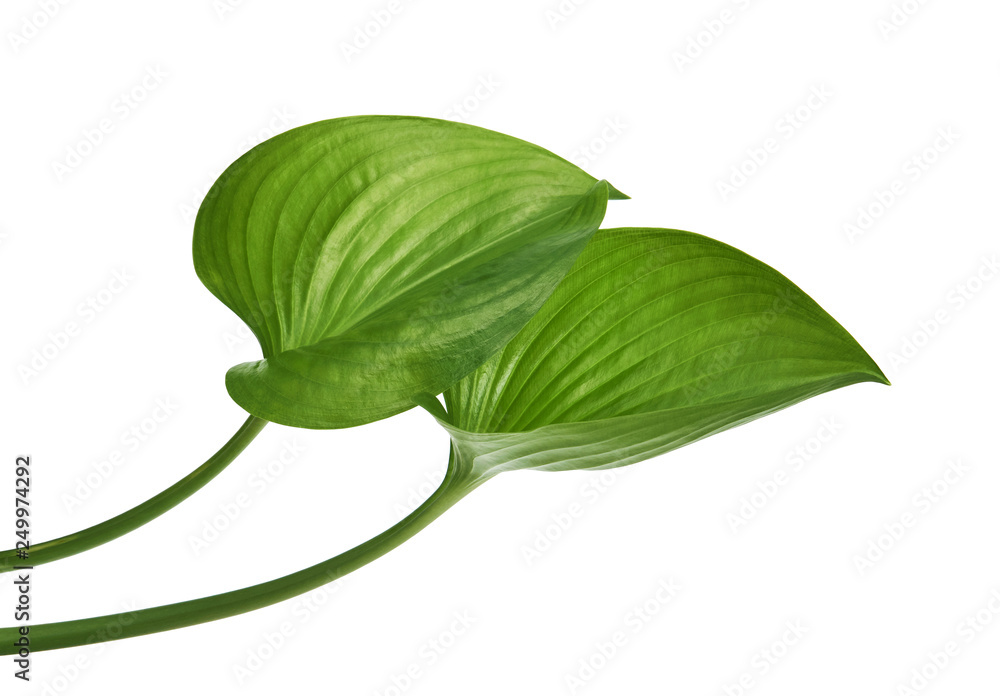 Fototapeta Cardwell lily leaf, Green circular leaves isolated on white background, with clipping path