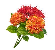 Ixora Coccinea Flower, Orange ...