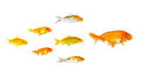 Group Of Small Goldfish And Ko...
