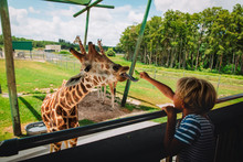 Boy Feeding Giraffes In Zoo Or On Safari Trip