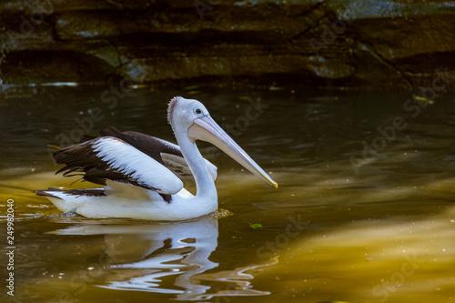 Fotografie, Obraz  Pelican in Bali Island Indonesia