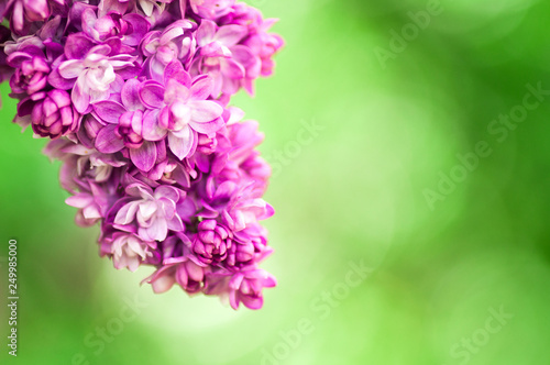 Foto op Plexiglas Lilac closeup ultraviolet flower. floral spring background. picture with soft focus