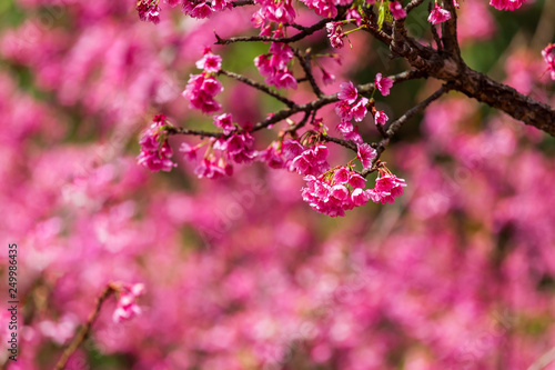 Spoed Fotobehang Roze Cherry Blossom and Sakura wallpaper
