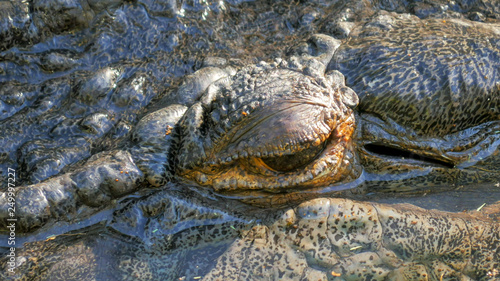 Photo  close up of a large saltwater crocodile opening its eye